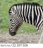 Портрет зебры (2016 год). Стоковое фото, фотограф Знаменский Олег / Фотобанк Лори