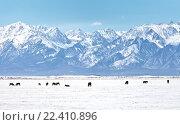 Восточные Саяны. Лошади пасутся в Тункинской долине. Стоковое фото, фотограф Виктория Катьянова / Фотобанк Лори