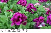 Купить «Комнатные растения с фиолетовыми цветами», видеоролик № 22424716, снято 28 марта 2016 г. (c) Наталья Окорокова / Фотобанк Лори