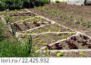 Купить «Побеги листьев салата на грядке», фото № 22425932, снято 21 апреля 2015 г. (c) Татьяна Кахилл / Фотобанк Лори