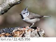 Купить «Синица хохлатая. Crested Tit (Parus cristatus).», фото № 22425956, снято 29 марта 2014 г. (c) Василий Вишневский / Фотобанк Лори