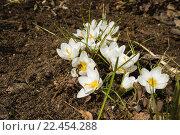 Цветущие цветы Крокусы и первая пчела. Стоковое фото, фотограф Александр Степанов / Фотобанк Лори