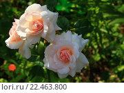 Роза. Стоковое фото, фотограф Надежда Шапкина / Фотобанк Лори
