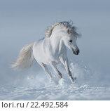 Купить «Белоснежный конь играет на снегу», фото № 22492584, снято 15 февраля 2012 г. (c) Абрамова Ксения / Фотобанк Лори