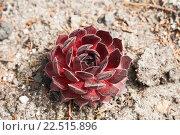Купить «Молодило (sempervivum), или каменная роза, красного цвета», фото № 22515896, снято 12 июня 2014 г. (c) Юлия Бабкина / Фотобанк Лори