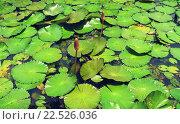 Бутоны лотоса. Стоковое фото, фотограф Дарья Петрова / Фотобанк Лори