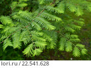 Купить «Метасеквойя глиптостробовидная (Metasequoia glyptostroboides Hu & W.C.Cheng), ветки с молодой зеленой хвоей», фото № 22541628, снято 29 июня 2014 г. (c) Ирина Борсученко / Фотобанк Лори