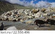 Купить «Овцы и козы пасутся в горах», видеоролик № 22550496, снято 16 апреля 2015 г. (c) Андрей Армягов / Фотобанк Лори