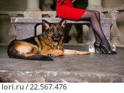 Немецкая овчарка у красивых женских ног. Стоковое фото, фотограф Ирина Золина / Фотобанк Лори