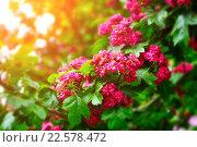 Купить «Боярышник с ярко-розовыми цветами», фото № 22578472, снято 17 июля 2018 г. (c) Зезелина Марина / Фотобанк Лори