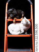 Купить «Милый щенок с белой кошкой на стремянке», фото № 22596500, снято 13 февраля 2016 г. (c) Стивен Жингель / Фотобанк Лори