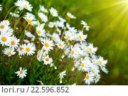 Купить «Wild growing marguerites  and sunrise.», фото № 22596852, снято 24 января 2019 г. (c) PantherMedia / Фотобанк Лори