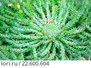 Купить «Молочай Голова медузы (Euphorbia caput medusae)», фото № 22600604, снято 15 марта 2016 г. (c) Татьяна Белова / Фотобанк Лори