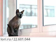 Купить «Кошка породы канадский сфинкс сидит на подоконнике», фото № 22601044, снято 3 апреля 2016 г. (c) Стивен Жингель / Фотобанк Лори