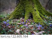Купить «Печеночница (перелеска) цветет в лесу на фоне большого дерева», фото № 22605164, снято 1 апреля 2016 г. (c) Ксения Семенова / Фотобанк Лори
