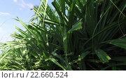 Купить «green wild plant on sri lanka», видеоролик № 22660524, снято 20 февраля 2016 г. (c) Syda Productions / Фотобанк Лори