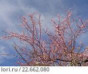 Купить «Цветущие плодовые деревья на фоне неба», фото № 22662080, снято 4 марта 2016 г. (c) DiS / Фотобанк Лори