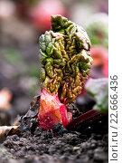 Купить «Маленький росток ревеня», фото № 22666436, снято 21 апреля 2016 г. (c) Mike The / Фотобанк Лори