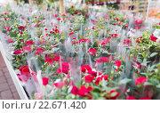 Купить «close up of rose flowers in gardening shop», фото № 22671420, снято 25 февраля 2015 г. (c) Syda Productions / Фотобанк Лори