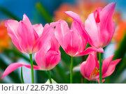 Купить «Тюльпаны розовые», фото № 22679380, снято 4 марта 2016 г. (c) Татьяна Белова / Фотобанк Лори