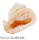Купить «Большая морская ракушка семейства Стромбиды, изолировано на белом фоне», фото № 22680240, снято 9 апреля 2016 г. (c) Игорь Долгов / Фотобанк Лори