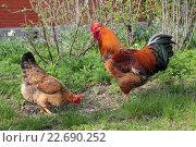Купить «Красивые петух и курица стоят в траве на фоне кустов и дома», эксклюзивное фото № 22690252, снято 15 апреля 2016 г. (c) Ирина Водяник / Фотобанк Лори