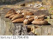 Купить «Еловые шишки на старом пне», эксклюзивное фото № 22704416, снято 24 апреля 2016 г. (c) Елена Коромыслова / Фотобанк Лори