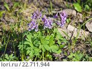 Купить «Хохлатка плотная (Corydalis solida)», фото № 22711944, снято 2 мая 2013 г. (c) Алёшина Оксана / Фотобанк Лори