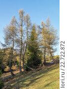 Высокие хвойные деревья освещены солнцем. Стоковое фото, фотограф Олег Вдовин / Фотобанк Лори