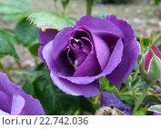 Сиреневая роза. Стоковое фото, фотограф Татьяна Кахилл / Фотобанк Лори
