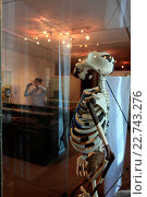 Купить «Addis Ababa, at the Ethnological Museum, picture of Luci, Lucy refers to the 1974 Afar Triangle discovered partial skeleton of a female individual interpreted as the kind Australopithecus afarensis», фото № 22743276, снято 13 ноября 2019 г. (c) age Fotostock / Фотобанк Лори