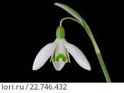 Купить «Snowdrop (Galanthus nivalis)», фото № 22746432, снято 16 сентября 2019 г. (c) easy Fotostock / Фотобанк Лори