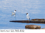 Купить «Чайка сидит на бревне возле берега, другая чайка плавает у берега», фото № 22765832, снято 5 мая 2016 г. (c) Александр Якимов / Фотобанк Лори