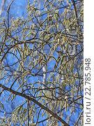 Купить «Осина или Тополь дрожащий (Pоpulus tremula). Цветущие ветви с серёжками», фото № 22785948, снято 22 сентября 2012 г. (c) Евгений Мухортов / Фотобанк Лори
