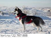 Собака хаски стоит в профиль в полный рост на фоне снежных равнин и сопок. Стоковое фото, фотограф Маркин Роман / Фотобанк Лори