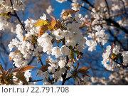 Купить «Цветущая ветка яблони в весеннем саду на фоне голубого неба», эксклюзивное фото № 22791708, снято 6 мая 2016 г. (c) Svet / Фотобанк Лори