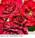 Красные розы. Стоковое фото, фотограф Сергей Носов / Фотобанк Лори