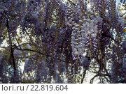 Цветущая Глициния, или Вистерия (wisteria floribunda) Стоковое фото, фотограф Татьяна Мирохина / Фотобанк Лори