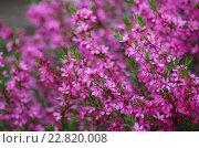 Миндаль низкий (Amygdalus nana) цветет весной. Стоковое фото, фотограф Natalia Sidorova / Фотобанк Лори
