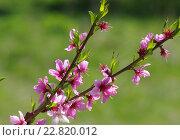 Миндаль цветет на территории Крутицкого подворья в Москве. Стоковое фото, фотограф Natalia Sidorova / Фотобанк Лори