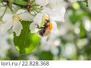 Шмель на цветущей яблоне. Стоковое фото, фотограф Сайганов Александр / Фотобанк Лори