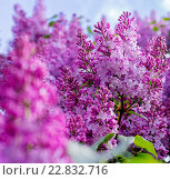 Купить «Сиреневый цветок на фоне неба», фото № 22832716, снято 12 мая 2016 г. (c) Наталья Окорокова / Фотобанк Лори