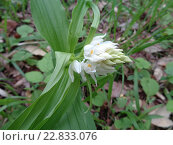 Купить «Цветок белой лесной орхидеи», фото № 22833076, снято 25 апреля 2016 г. (c) DiS / Фотобанк Лори