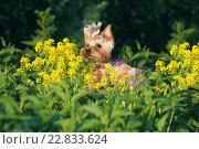 Купить «Собака йоркширский терьер в траве нюхает цветы», фото № 22833624, снято 13 июня 2015 г. (c) Татьяна Белова / Фотобанк Лори