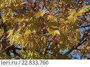 Купить «Молодые листья клёна на дереве», эксклюзивное фото № 22833760, снято 6 мая 2016 г. (c) Svet / Фотобанк Лори
