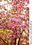 Розовые цветы яблони. Стоковое фото, фотограф Екатерина Кармановская / Фотобанк Лори