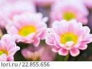 Купить «close up of beautiful pink chrysanthemum flowers», фото № 22855656, снято 27 марта 2016 г. (c) Syda Productions / Фотобанк Лори