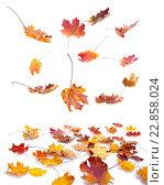 Купить «Осенние листья на белом фоне», фото № 22858024, снято 7 октября 2015 г. (c) Литова Наталья / Фотобанк Лори