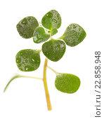 Купить «Зеленый росток в каплях воды», фото № 22858948, снято 5 декабря 2015 г. (c) Сергей Молодиков / Фотобанк Лори
