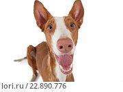 Купить «Собака породы Поденко ибиценко на белом фоне», фото № 22890776, снято 10 апреля 2016 г. (c) Алексей Кузнецов / Фотобанк Лори